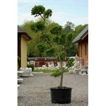 Modrzew japoński - bonsai ogrodowe